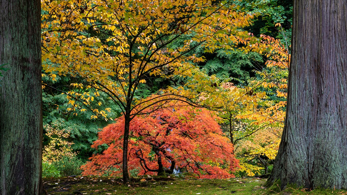 Image of a vibrant orange colored Japanese maple tree in a garden against yellow and green colors from other trees, framed between two tree trunks. Hoffman's tree planting services help create landscapes like this.